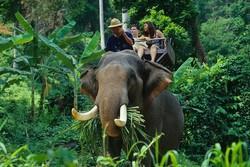 Слон затоптал шотландского туриста в Таиланде