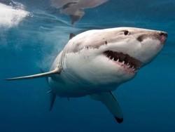 Число нападений акул на людей в 2015 году увеличилось