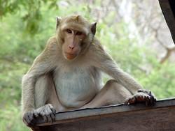 В Таиланде у обезьян обнаружен вирус Денге