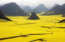 В Китае создали вертолётный тур над полями цветущего рапса