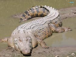 В Индонезии турист из РФ был растерзан крокодилом