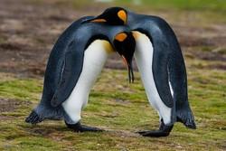 Пингвинов-геев выдворили из Берлинского зоопарка