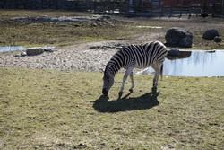 В зоопарке в Норвегии зебру публично обезглавили и скормили тиграм