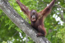 В рамках круиза можно будет посетить закрытую часть заповедника орангутанов на Борнео