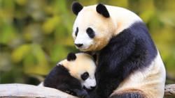 В Китае создадут нацпарк для панд