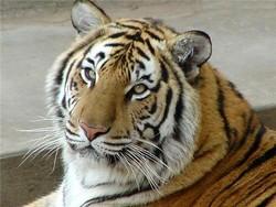 Неизвестные злоумышленники выкрали из зоопарка в Канаде двух верблюдов и тигра