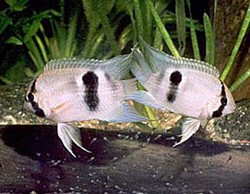 Близ Канарских остравов обнаружены рыбы-броненосцы