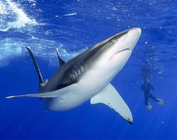 Для акул создадут заповедник
