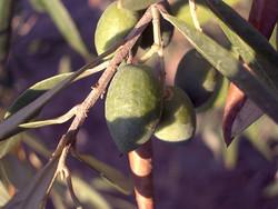 В Хорватии пройдут Дни маслин