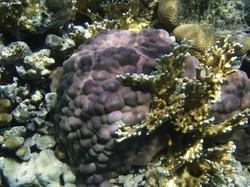 В Сицилии найден коралловый лес