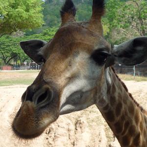 Привет, Жирафики )))