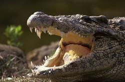 В Австралии крокодил напал на пожилого туриста, плывущего на лодке