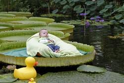 Поплавать на гигантских лилиях можно будет в ботаническом саду в Брюсселе