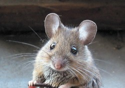 В Париже туристы боятся гулять по саду Тюильри из-за нашествия мышей