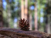 Роща гигантских секвой - Марипоза.