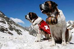 В Швейцарии запретили туристам фотографироваться с сенбернарами