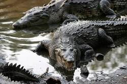 Пьяный турист из США пробрался в вольер с крокодилами в Мексике