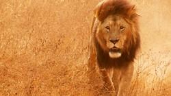 Лев Сесил, символ Зимбабве, был застрелен браконьером