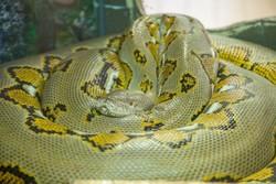 Питон укусил китаянку за нос на шоу змей в Таиланде