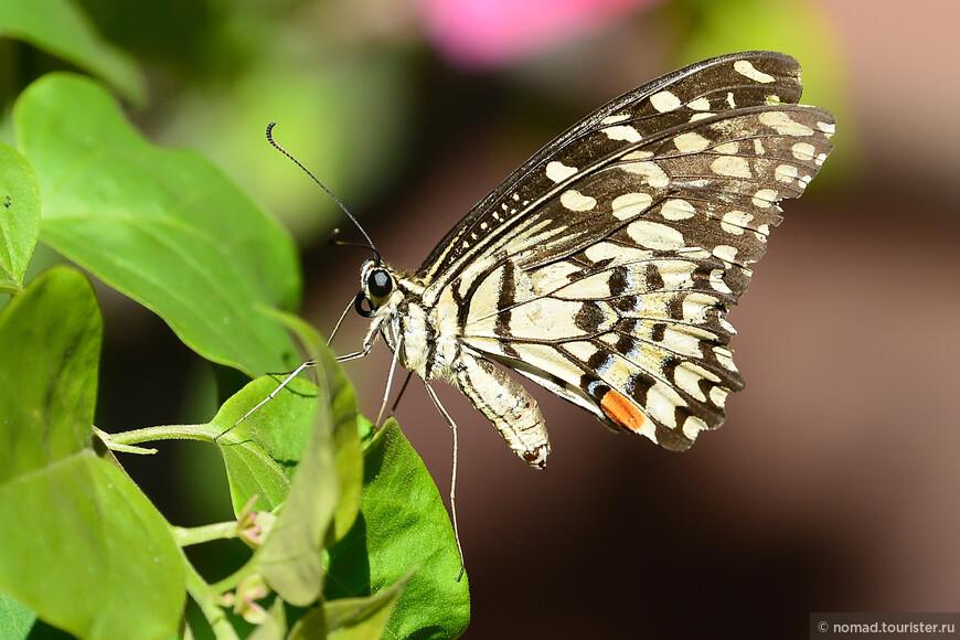 Парусник демолей, Papilio demoleus, Northern Lime Swallowtail