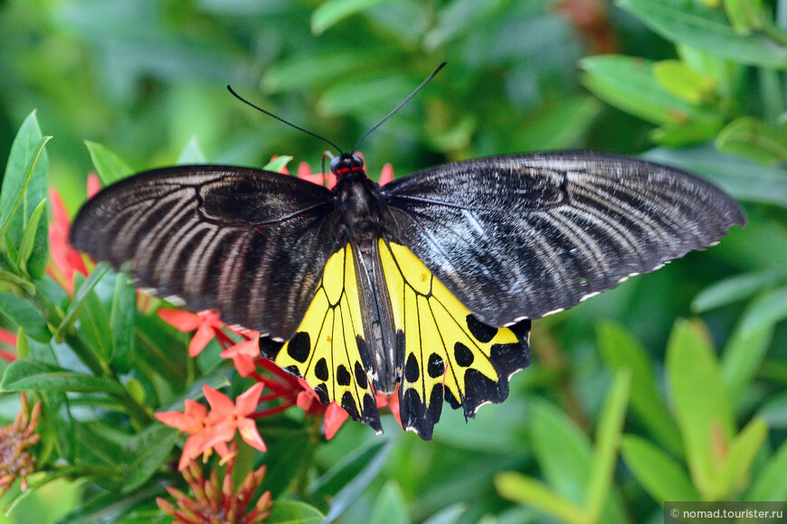 Птицекрылка Елены, Common Birdwing, Troides helena