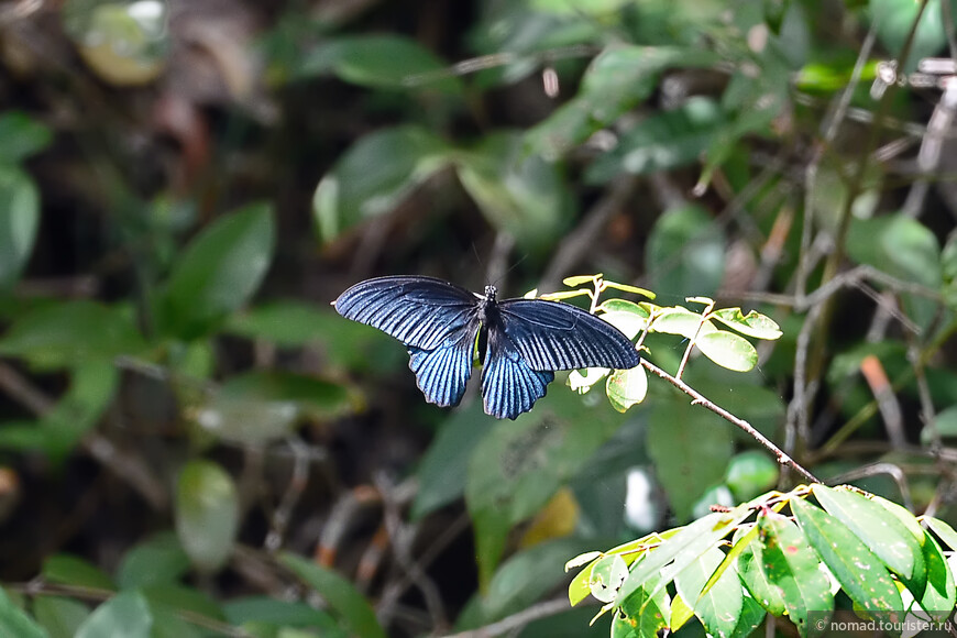 Великий мормон, Papilio memnon agenor, Continental Great Mormon