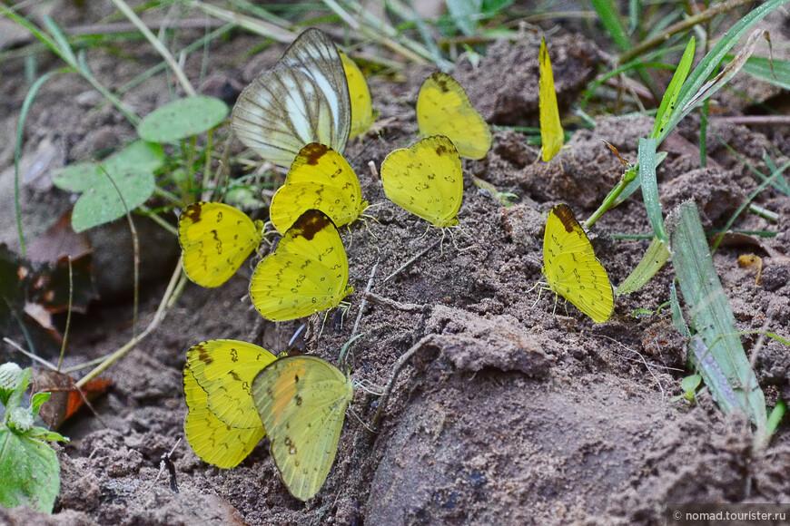 Three-spot Grass Yellow, Eurema blanda silhetana