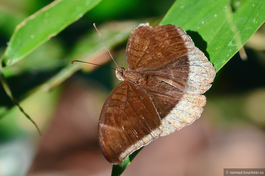 Gray Count, Cynitia lepidea sthavara