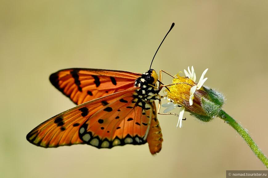 Tawny Coster, Acraea violae