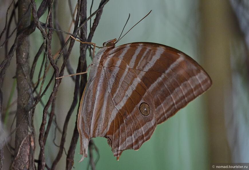 Palmking, Amathusia phidippus