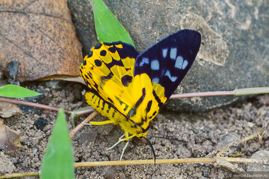 Yellow Moth, Disphania mitaris