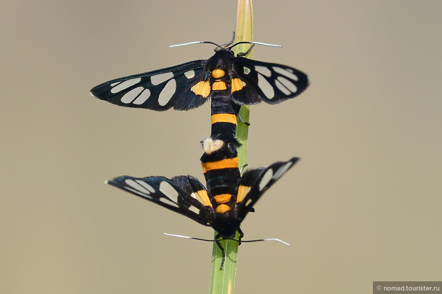 Wasp-Mimic Moth, Amata fortunei