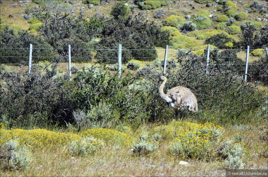 А это местный страус нанду,  тоже распространённый житель патагонских просторов.  Очень красивая большая птица.