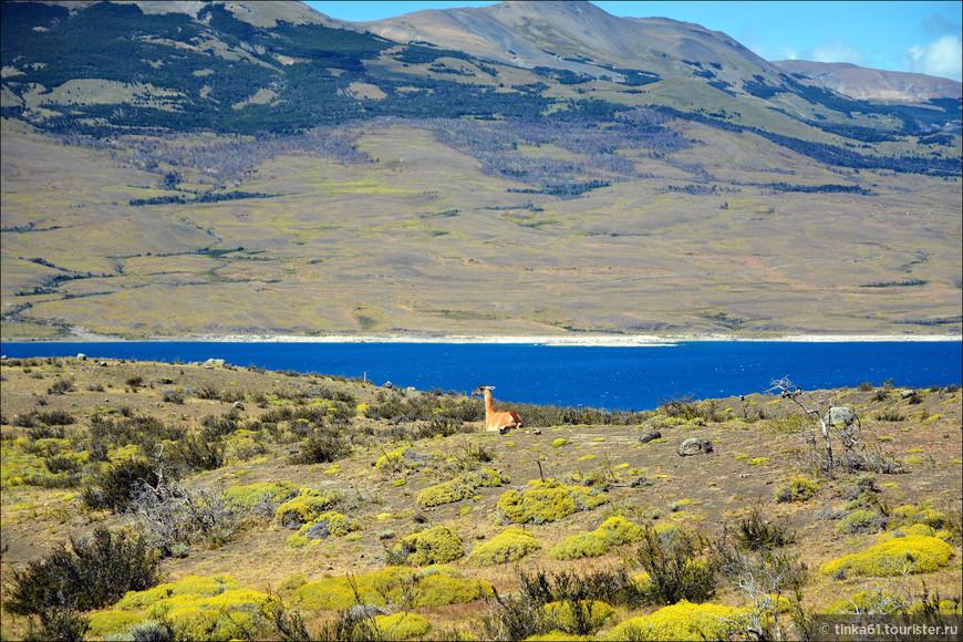 Одинокая гуанако на берегу озера.