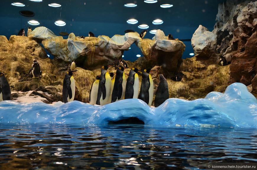 Коллекция пингвинов состоит из 200 птиц. Посетители могут удобно расположиться на движущейся дорожке спокойно наблюдать за жизнью этих удивительных птиц, таких неуклюжих на суше и ловких в воде. Эта группка забавно топталась по кругу сначала по часовой стрелке, а затем против.