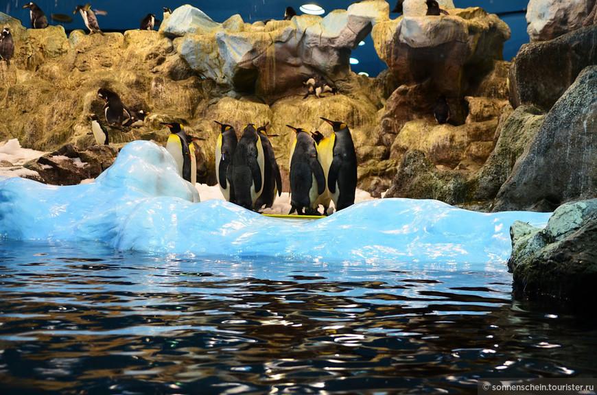 Королевский пингвин -второй по величине пингвин в мире после Императорского. Также здесь находится Хохлатый пингвин, Антарктический пингвин и Папуанский пингвин.