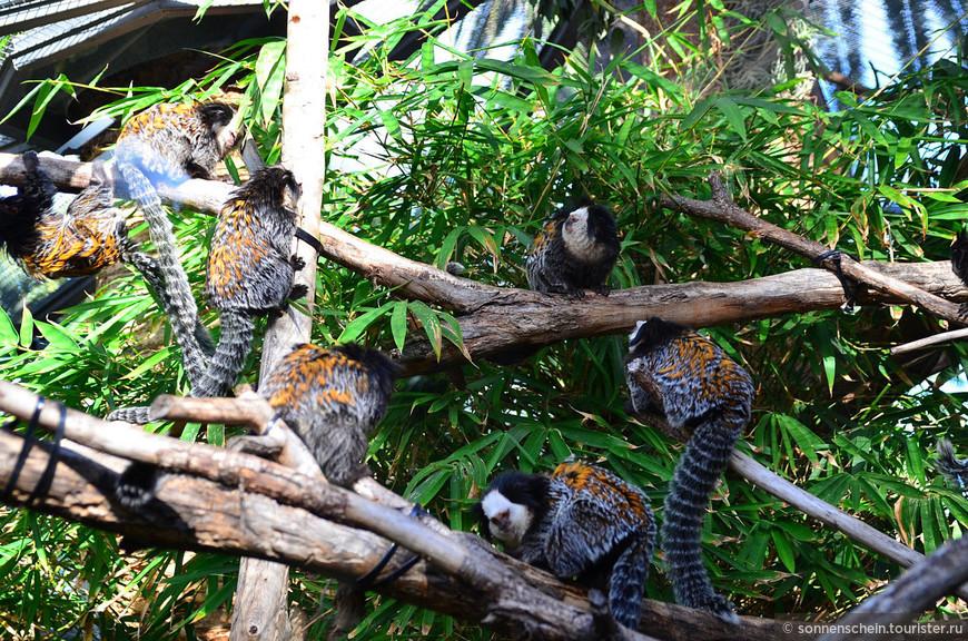 Игрунка Жоффруа являются эндемиками атлантических лесов Бразилии. В парке живут 3 вида ингрунковых, игрунковые обезьяны- самые маленькие среди приматов.