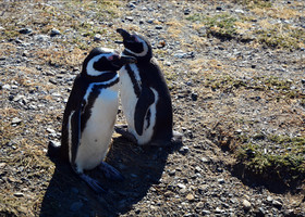 Из жизни пингвиньей