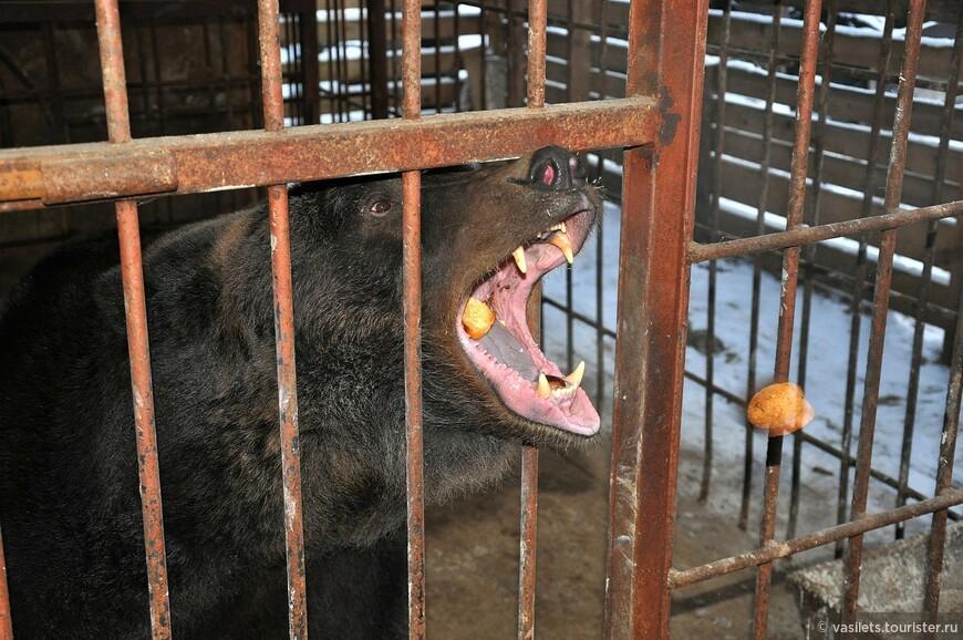 Медведь - побирушка. Очень любит вкусняшки, но брататься с ним не стоит, может и бока намять