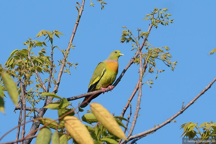Полосатохвостый зеленый голубь