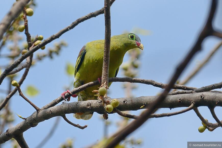 Толстоклювый зеленый голубь