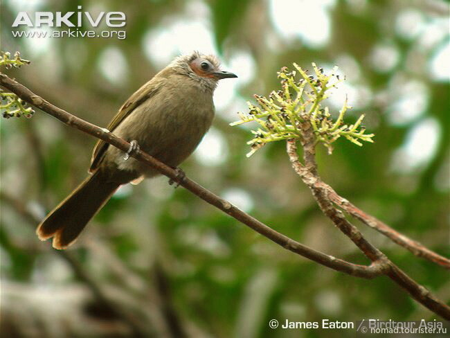 Bare-faced Bulbul (Pycnonotus hualon)
