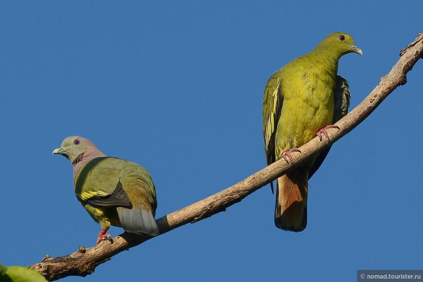 Розовошейный зеленый голубь