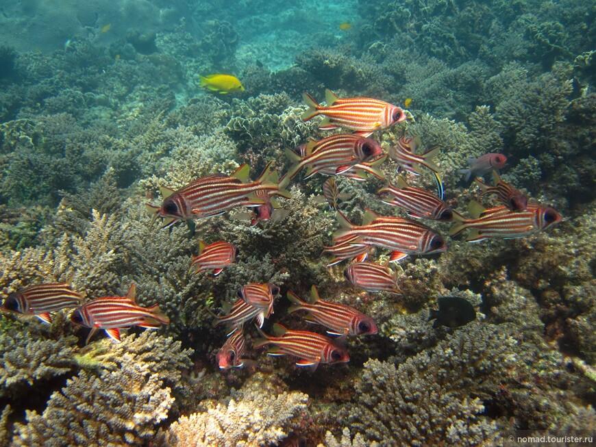 Красная рыба-белка