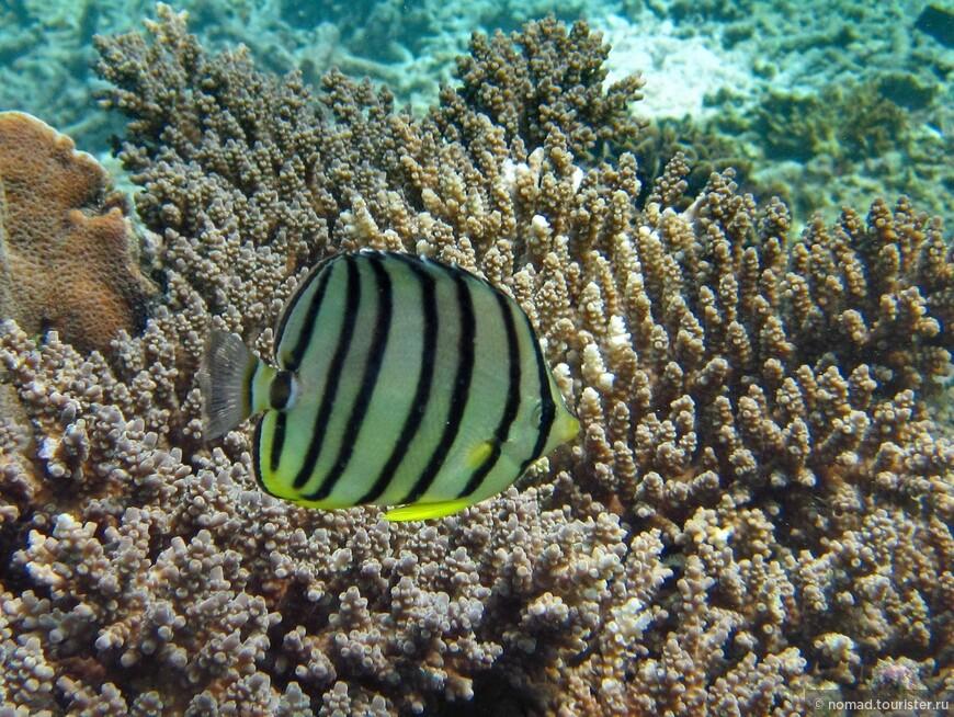 Восьмиполосая рыба-бабочка