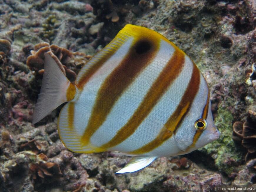 Пятнистоплавниковая рыба-бабочка