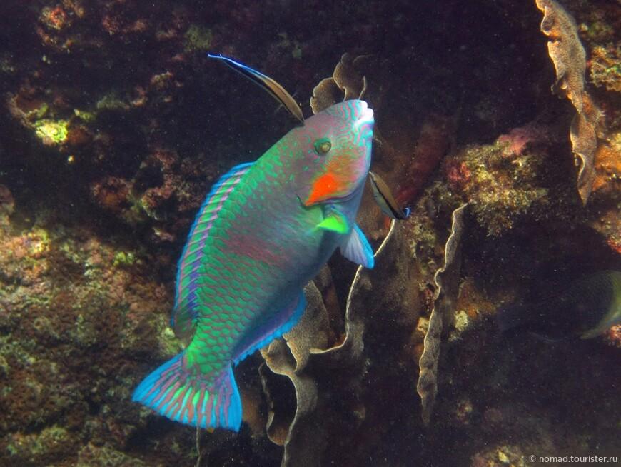 Полосатая рыба-попугай