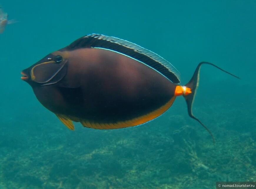 Оранжевошипая рыба-хирург