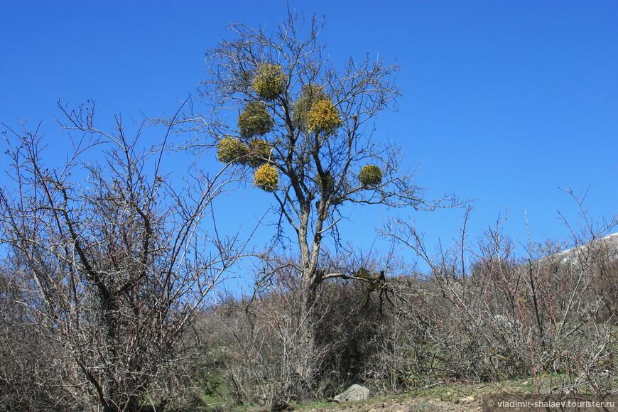 """...и попадались странные деревья с """"гнёздами""""."""
