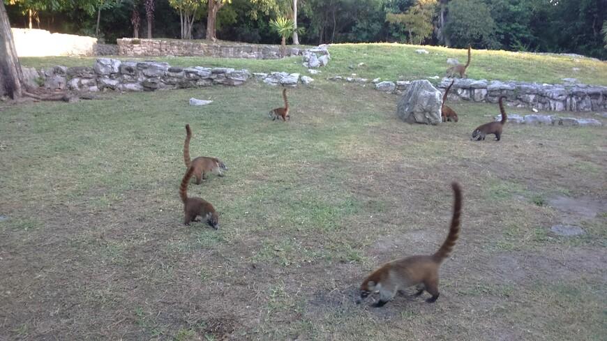 Шкарет, голодные коати